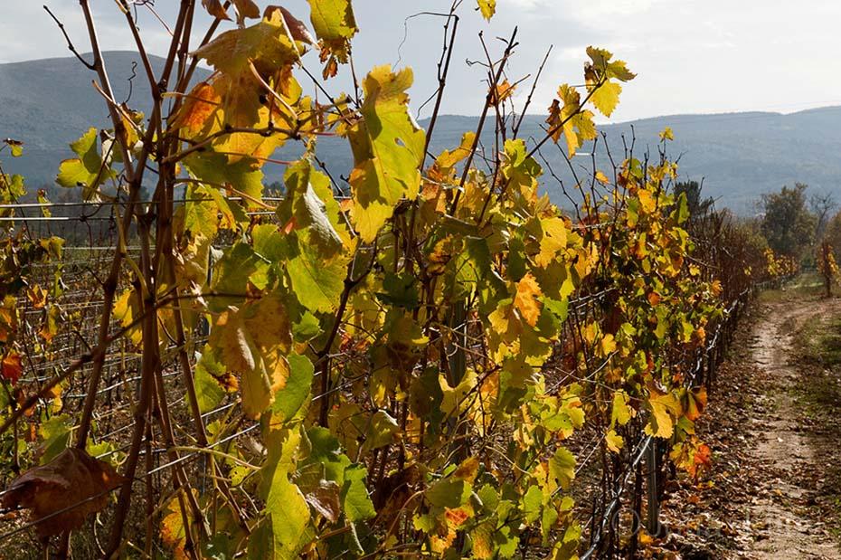 DSC_6740 Tselepos vineyards