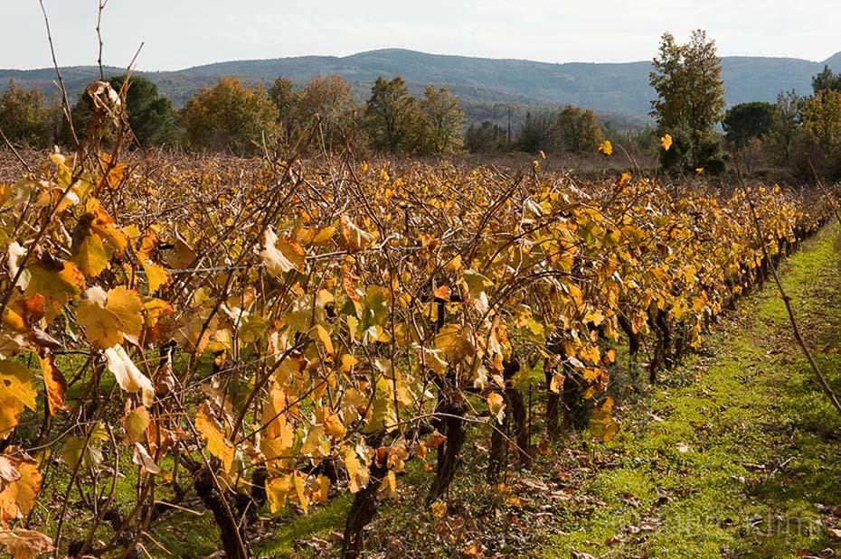 DSC_6972 Tselepos vineyards