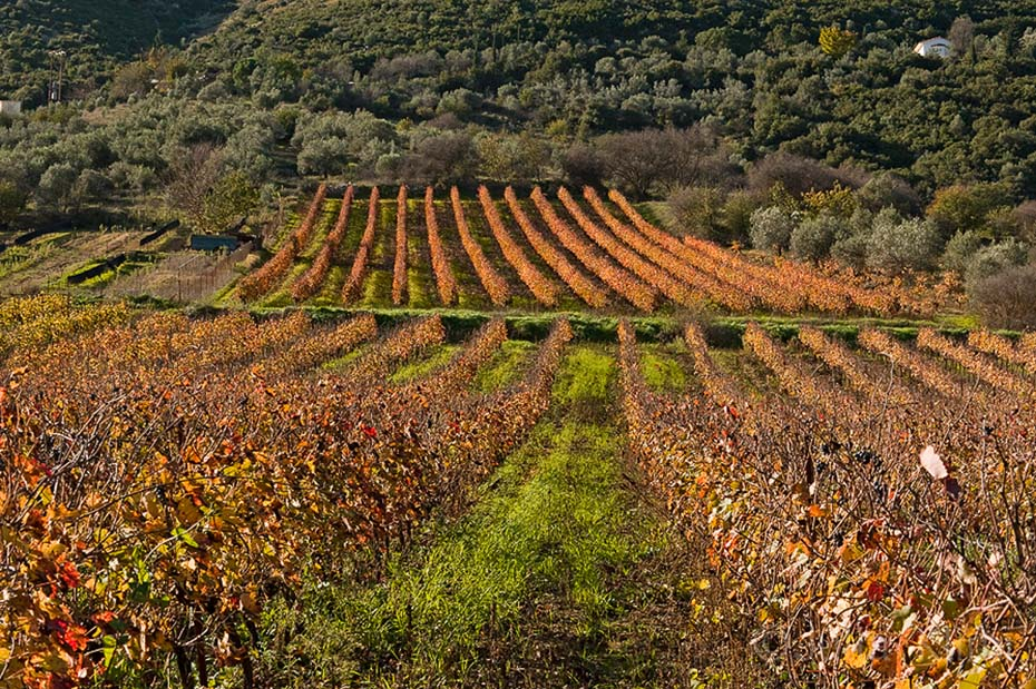 DSC_7308 Spiropoulos vineyards