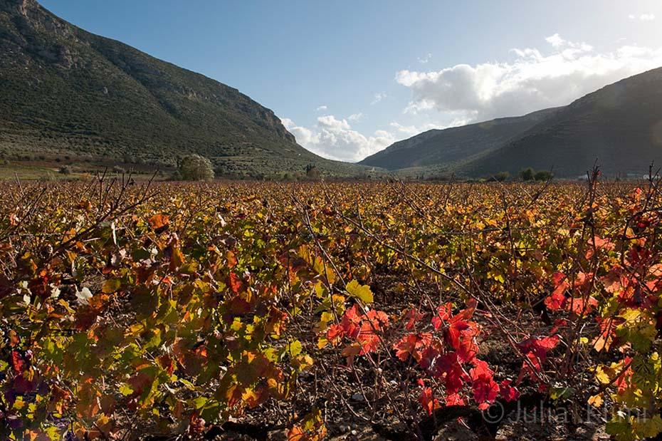 DSC_7349 Nemea's vineyards